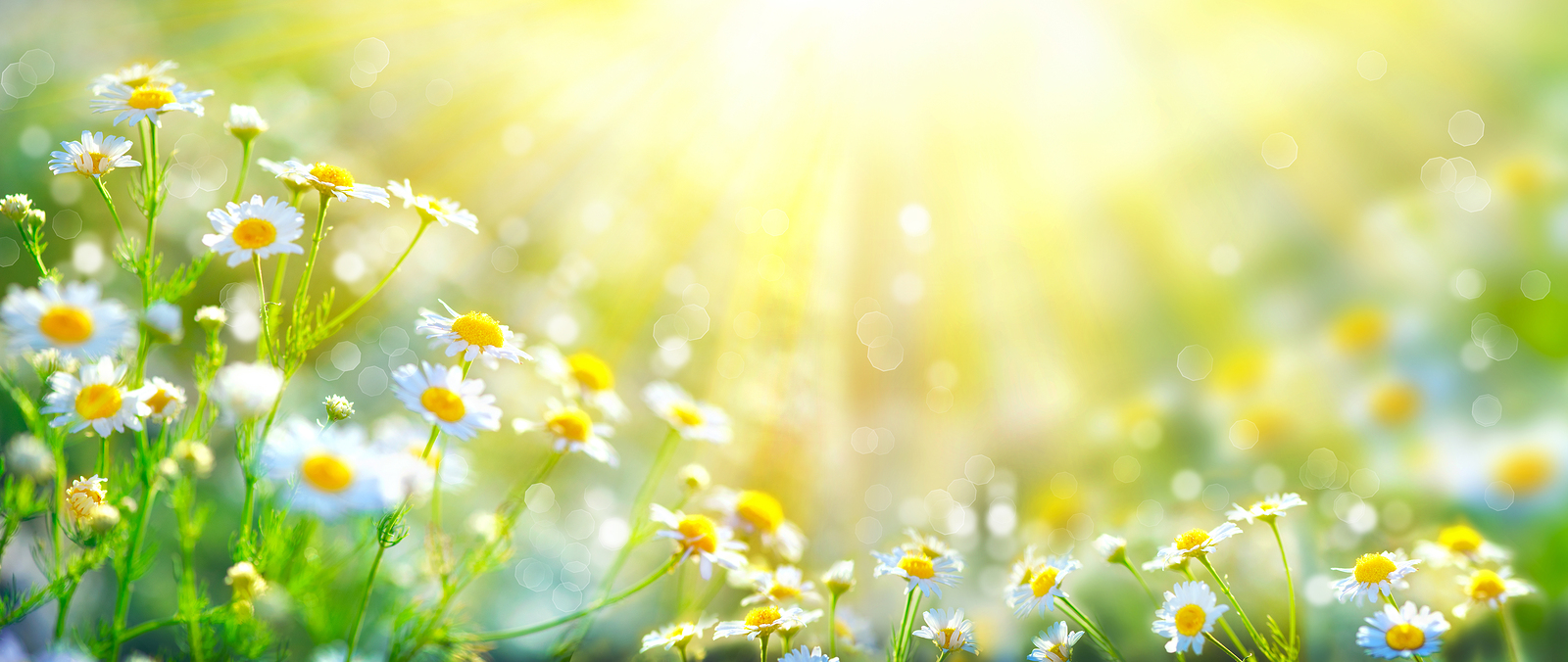 bigstock Chamomile flowers field wide b 137923193